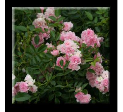 Mini rose The Fairy / Мини роза - розова