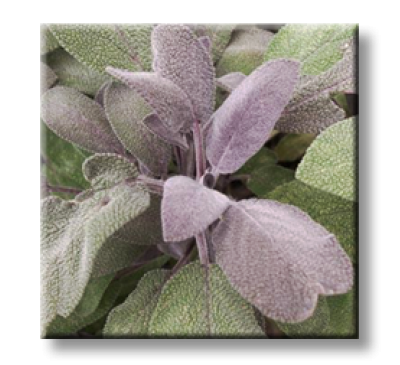 Salvia Officinalis Purpurascens / Салвия, Лилав градински чай