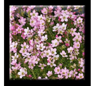 Saxifraga X arendsii / Саксифрага розова