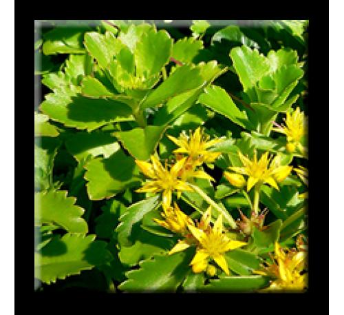 Sedum kamtschaticum / Камчатски седум