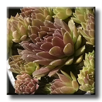 Sempervivum hybrid