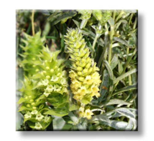 Sideritis scardica / Мурсалският чай
