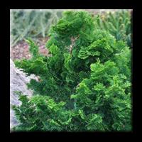 Thuja occidentalis Cristata / Западна туя Кристата
