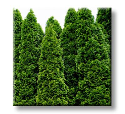 Thuja Occidentalis Spiralis / Западна туя колоновидна Спиралис