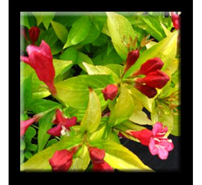 Weigela florida Aurea