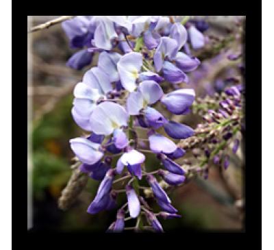 Wisteria sinensis / Китайска вистерия