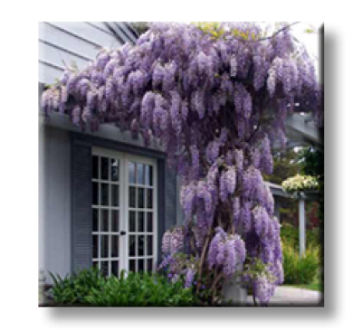Wisteria floribunda / Японска вистерия