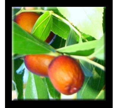 Zizyphus vulgaris / Хинап