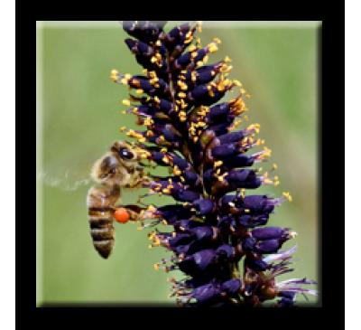 Amorpha fruticosa / Аморфа, черна акация