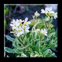 Arabis alpina caucasica Variegata / Арабис пъстролистен