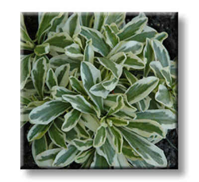 Arabis ferdinandi coburgi variegata / Арабис пъстролистен