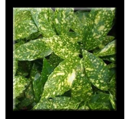 Aucuba japonica Variegata / Аукуба японика пъстролистна