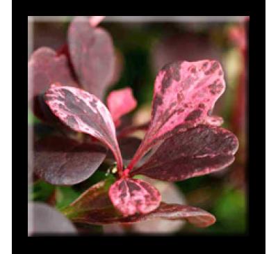 Berberis thunbergii Harlequin / Японски кисел трън Арлекин