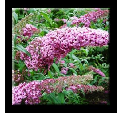 Buddleia Davidii Pink Delight / Будлея розова, Летен люляк