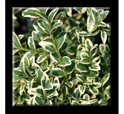 Buxus sempervirens aureovariegata / Чемшир пъстролистен