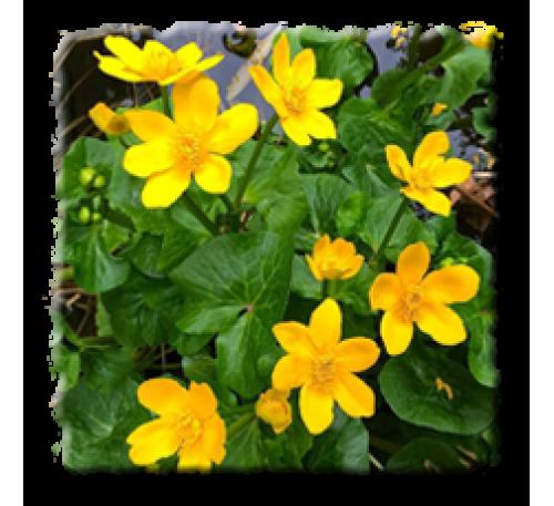 Caltha palustris / Обикновен блатняк