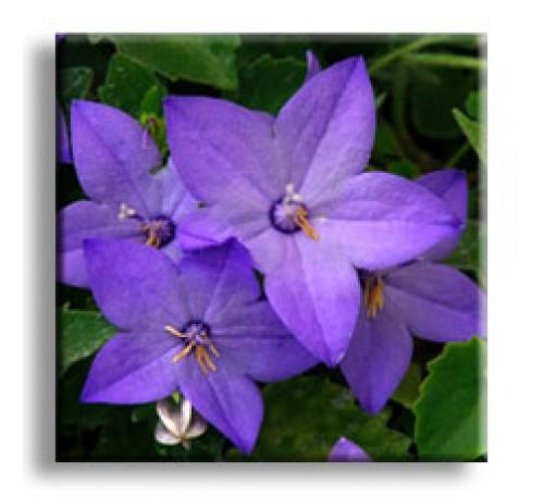 Campanula Isophylla / Кампанула градинска