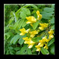 Caragana Arborescens  / Жълта акация