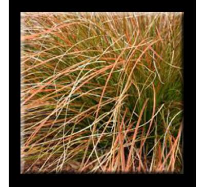 Carex testacea Prairie Fire / Oгнeн кapeкc