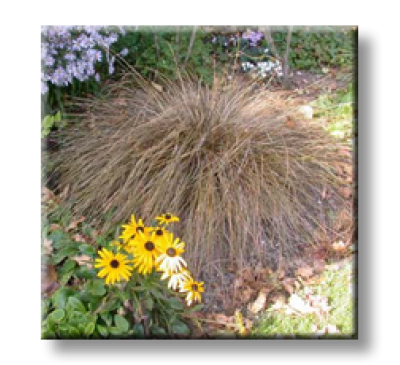 Carex comans bronze form / Бронзов карекс, Острица