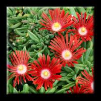 Delosperma red mountain / Делосперма червена