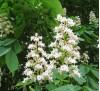 Aesculus hippocastanum L. / Обикновен конски кестен