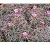 Armeria maritima Rubrifolia / Армерия червенолистна