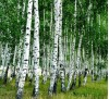 Betula pendula / Бяла бреза
