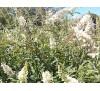 Buddleia davidii White Profusion / Будлея бяла, Летен люляк