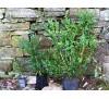 Buxus sempervirens arboviscus / Чимшир дървовиден