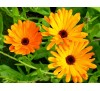 Calendula officinalis / Невен