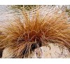 Carex buchananii Red Rooster / Бронзов карекс Червен петел