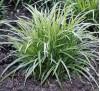 Carex morrowii Ice Dance / Карекс Айс Данс