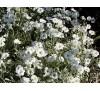 Cerastium tomentosum / Церастиум, Рожец