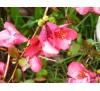 Chaenomeles japonica / Японска дюля, Цидония
