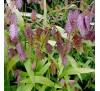 Chasmanthium latifolium / Шасмантиум, Хасмантиум