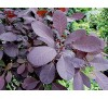 Cotinus coggygria 'Royal Purple' / Червенолистна смрадлика