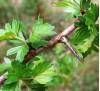 Crataegus monogyna Jacq. / Глог червен