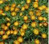 Delosperma Orange Wonder / Делосперма оранжева