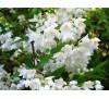 Deutzia spp / Дойция бяла