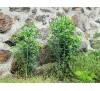 Euphorbia lathyris / Еуфорбия