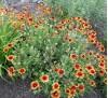 Gaillardia aristata / Гайлардия