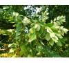 Gymnocladus dioicus,  Kentucky Coffeetree / Кентъки Кафеено Дърво