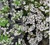 Gypsophila cerastioides Pixie Splash / Гипсофила
