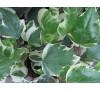 Hedera canariensis Variegata / Бръшлян - пъстролистен