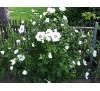 Hibiscus / Хибискус градински - бял, дървовидна ружа