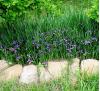 Iris graminea L. / Перуника треволистна