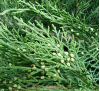 Juniperus Sabina / Сабина Зелена
