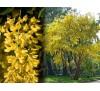 Laburnum vulgare / Лабурнум, Златен дъжд