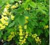 Laburnum anagyroides / Лабурнум, Златен дъжд